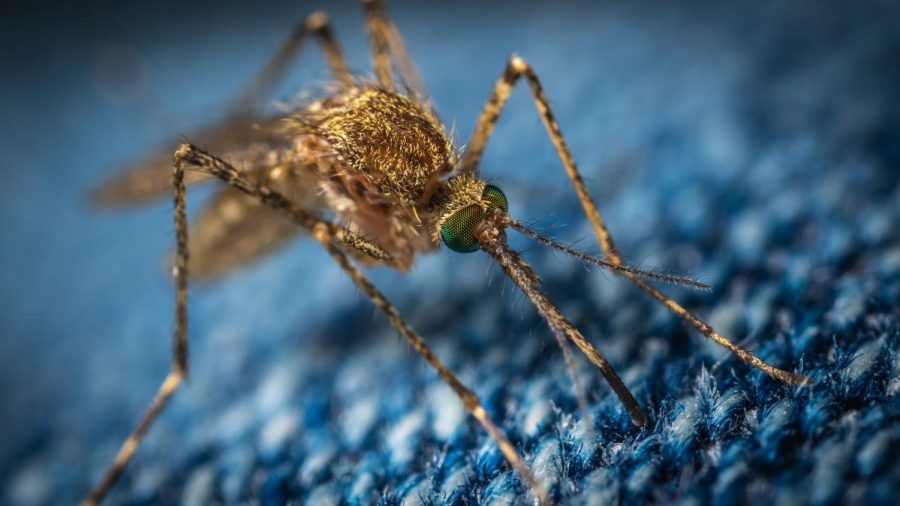 Genetically Modified Mosquitoes in Florida